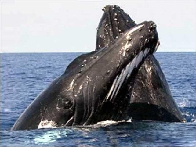 Guía para mayor seguridad en avistamiento de ballenas en Ecuador