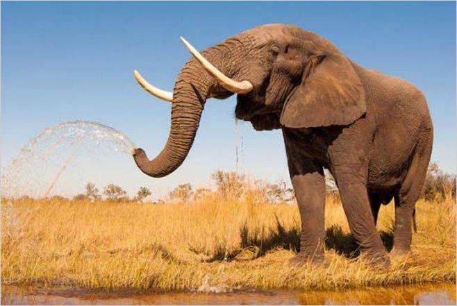 Científicos encuentran gen que protege a los elefantes contra el cáncer