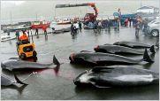 Cientos de delfines y ballenas mueren en horrorosa matanza en Dinamarca