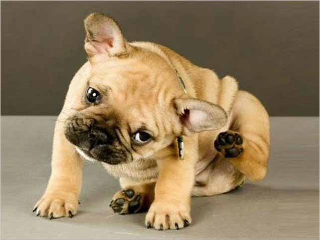 ISOXAZOLINAS para uso veterinario en perros contra pulgas y garrapatas