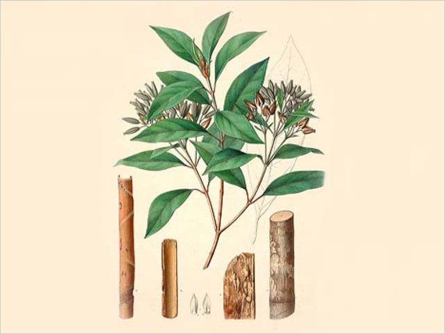 La quina o cascarilla, podría ser una cura ancestral para el Codvid-19