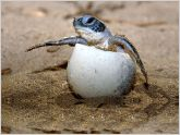 Ecuador registrar�a primer nacimiento de tortugas marinas La�d