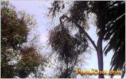Cuidado: Peligro latente en el Parque los Quindes de Ficoa por ramas de �rboles